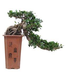 Ficus Cascade 80 cm