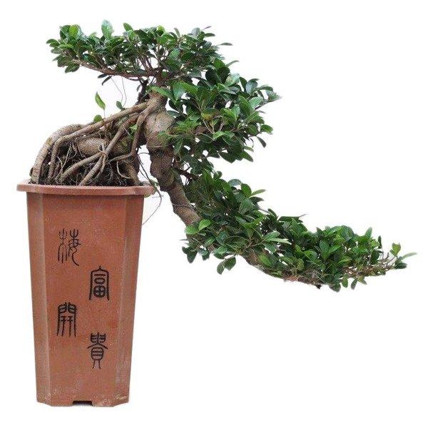 Bonsai Ficus Cascade 80 cm