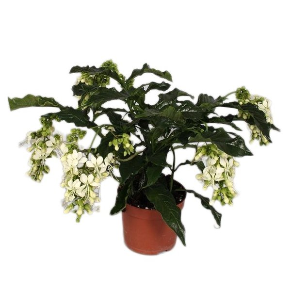 Clerodendrum prospero (rich flowering)