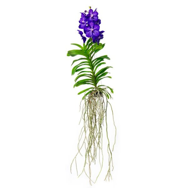 Vanda Magic royal blue 100 cm