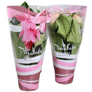 Medinilla Magnifica 4 bouton dans une jolie pochette cadeau rose