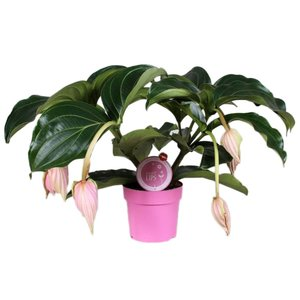 Medinilla Magnifica with 6 buttons MoreLIPS®