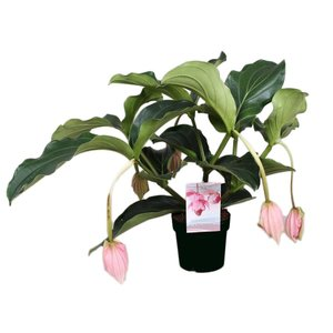 Medinilla Magnifica with 5 buttons