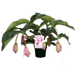 Medinilla Magnifica with 6 buttons