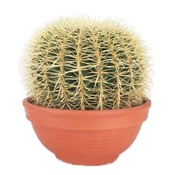 Cactus Echinocactus Grusoni (mother-in-law chair) extra