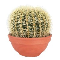 Cactus Echinocactus Grusoni extra groot
