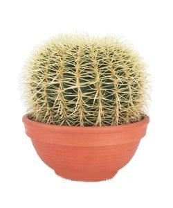 Echinocactus Grusoni extra groot
