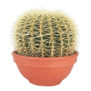 Cactus Echinocactus Grusoni extra groß
