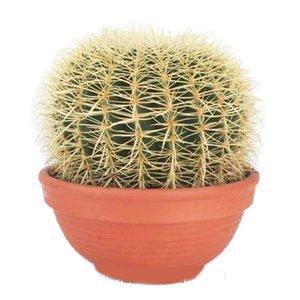 Cactus Echinocactus Grusoni extra large