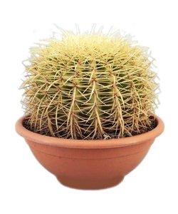 Echinocactus Grusoni