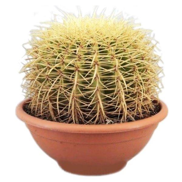 Cactus Echinocactus Grusoni (schoonsmoederstoel)