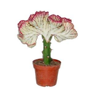 Euphorbia Lactea 'Cristata Red border