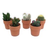 Cactus Mixed in terra cotta
