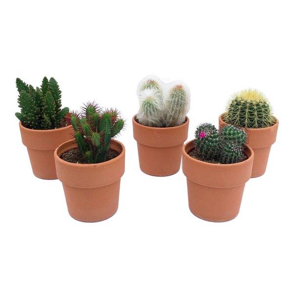 Cactus In Terrakotta gemischt