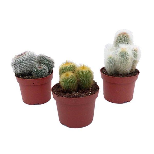 Cactus Mixed in pot 12 cm