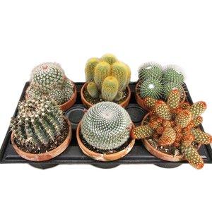 Cactus Mixte