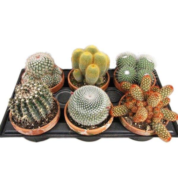 Cactus Mélangés dans un pot en terre cuite