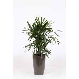 Rhapis Excelsa in plastic ornamental pot + water meter