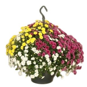 Chrysanthemum chrysanthemums skyfall 'Tricolor