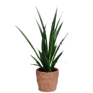 Sansevieria Cylindrica kirkii Friends in ceramics