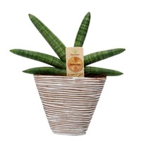Sansevieria Skyline with ceramic Cape Town
