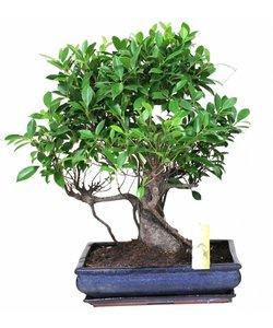 Ficus pot 40 cm