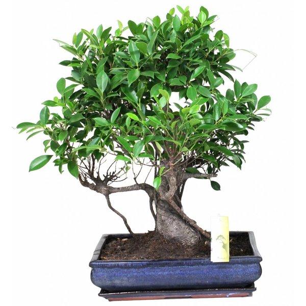 Bonsai Ficus pot 40 cm