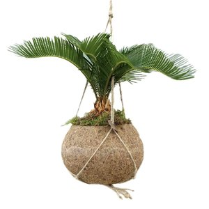 Kokodama Cycas Revoluta