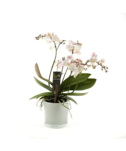 4 Zweig Willd weiß rosa Blumentopf 12+