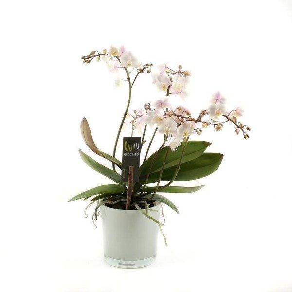 Phalaenopsis 4 branch willd white pink in white ornamental pot