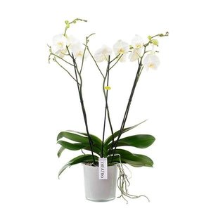 Phalaenopsis 3 branch theatro branched - in style glass