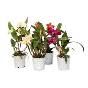 Orchideeën Cattleya small-flowered 1 branch