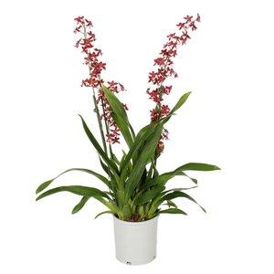Orchideeën Oncidium 'Cherry Baby' chienne 2 branches 17 cm