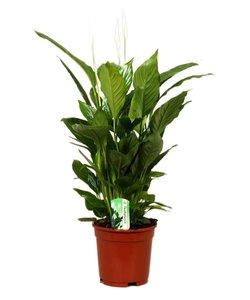 Vivaldi, Fair Flora - Peace Lily