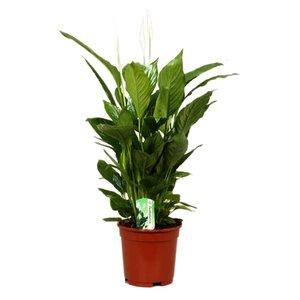Spathiphyllum Vivaldi, schöne Flora