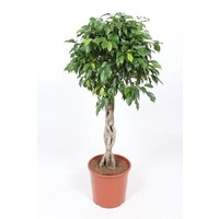 Ficus Colomnar on tribe