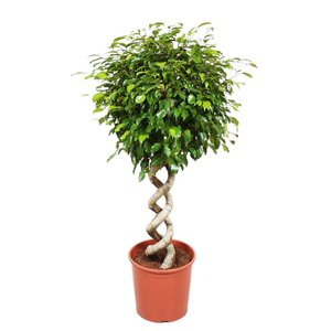 Ficus Exotica double spiral, Fair Flora