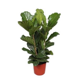 Ficus Lyrata Tuft 3 PP 130 cm