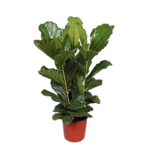 Ficus Lyrata toef 3 PP 130 cm