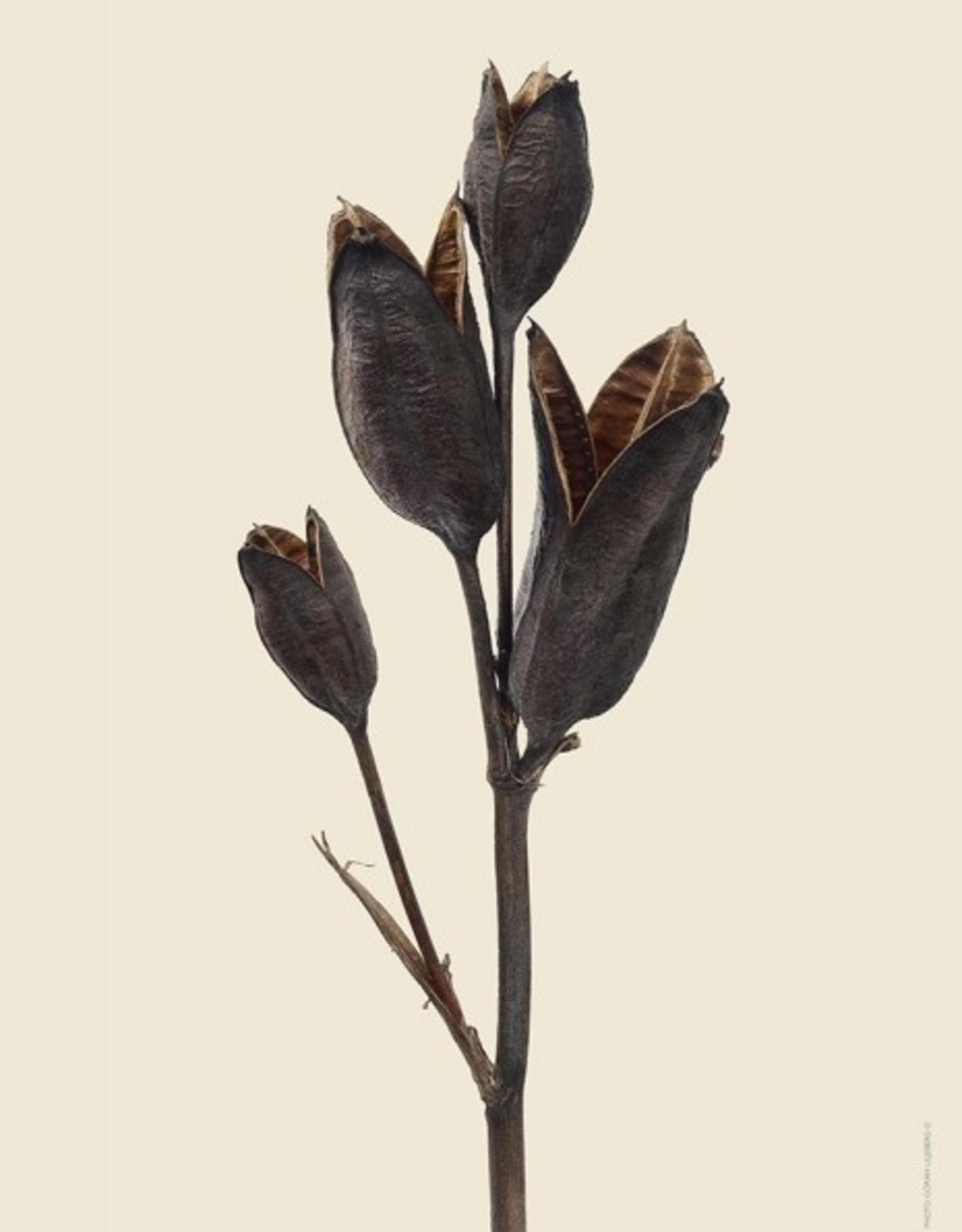 Liljebergs 'Iris'
