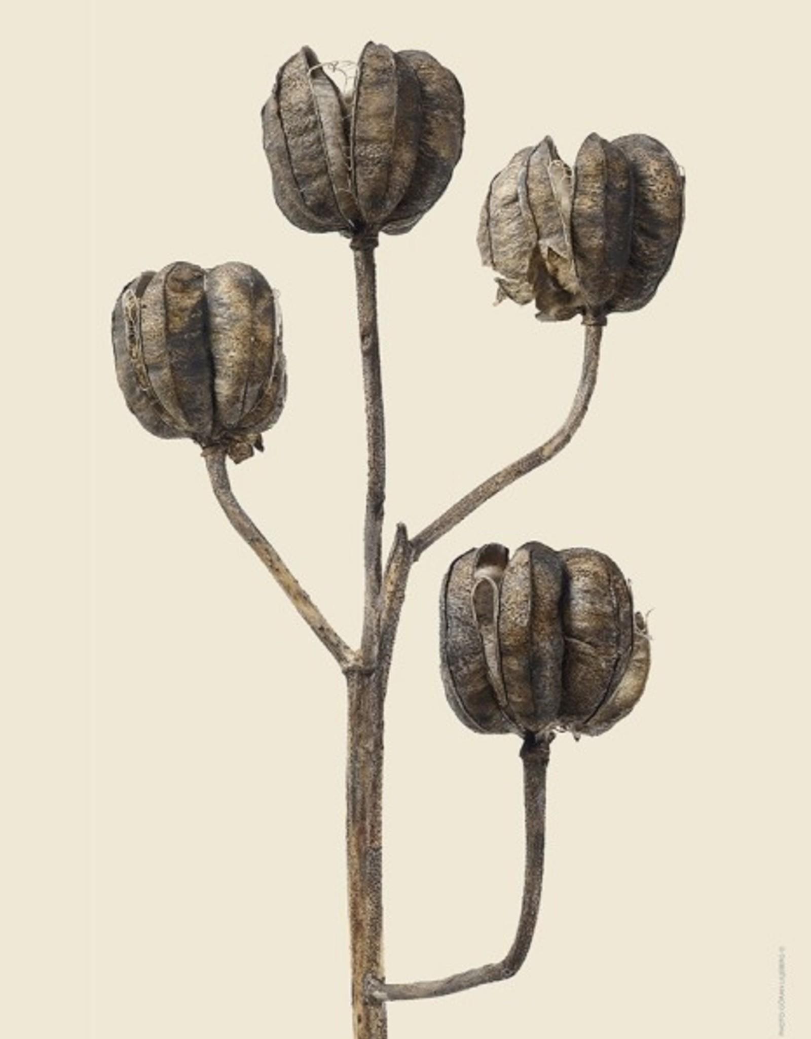 Liljebergs 'Martagon Lily'
