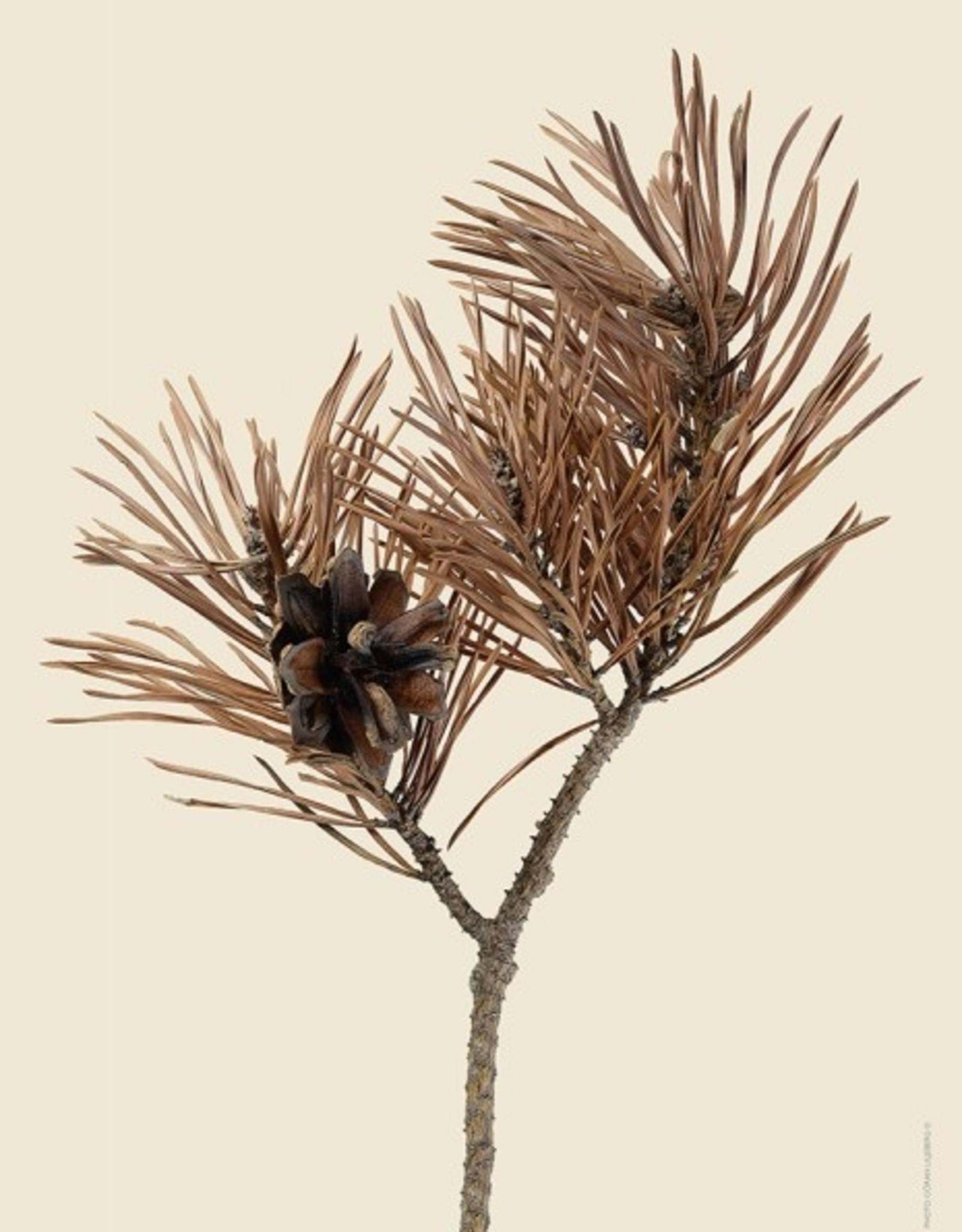 "Liljebergs Poster ""Scots Pine"" 30x40cm"