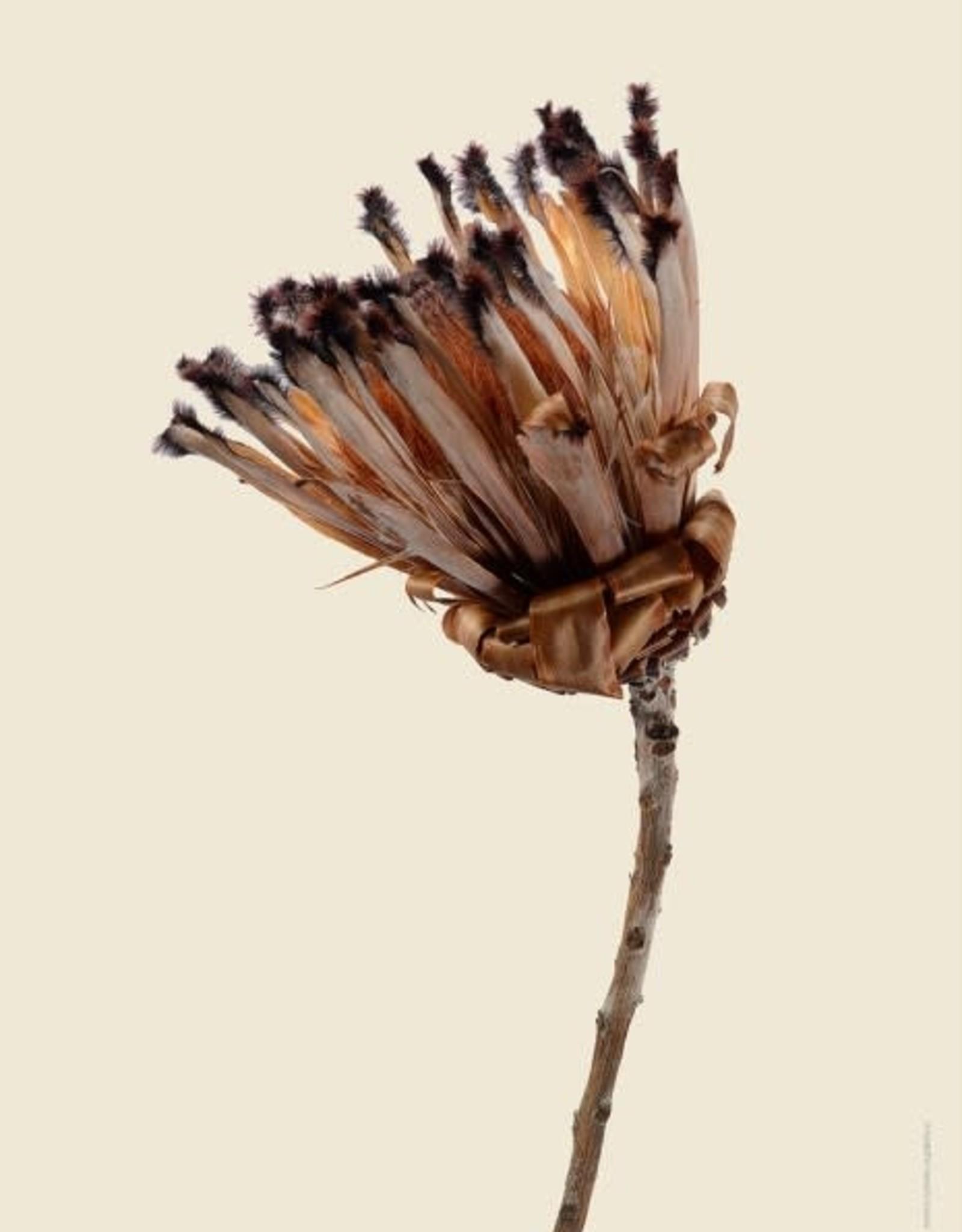 Liljebergs Protea neriifolia 30x40cm