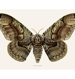 Liljebergs Brahmaea wallichii vlinder