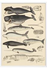 The Dybdahl & Co Animalia Whale