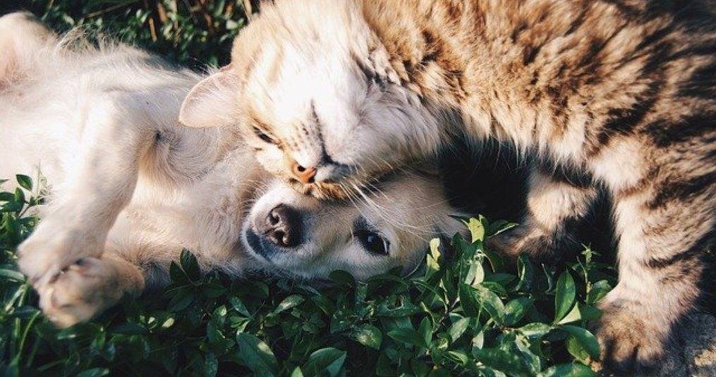 CBD Olie bij hond- huisdieren