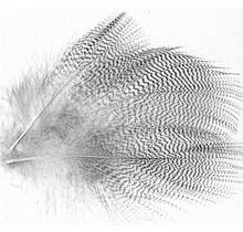 POSEIDON - Flank Wood Duck