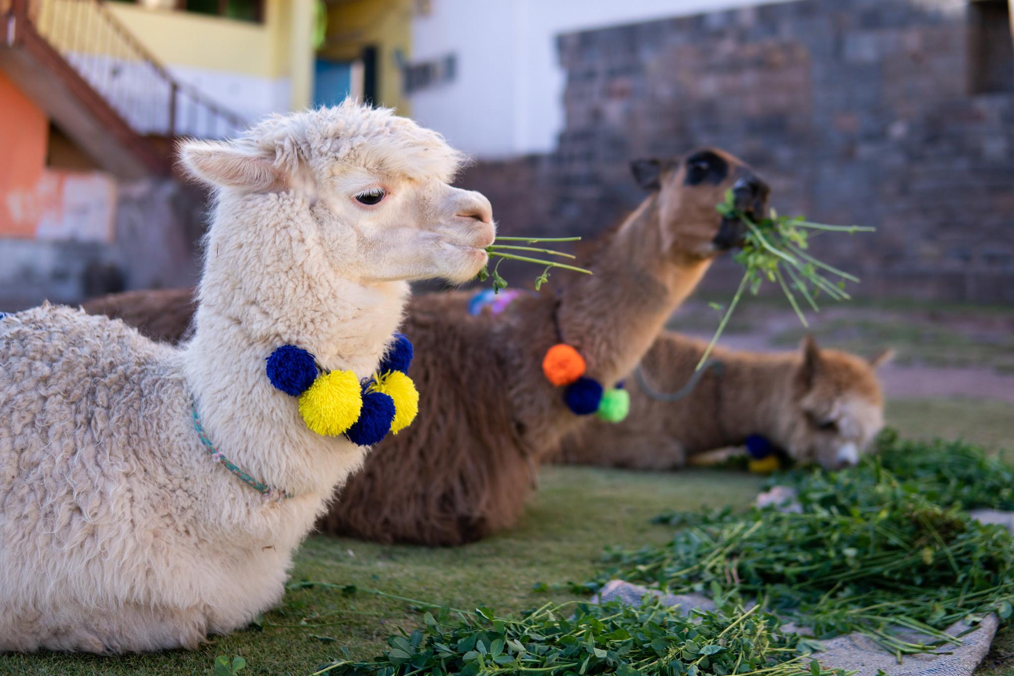 4 Reasons why alpaca fiber is so special