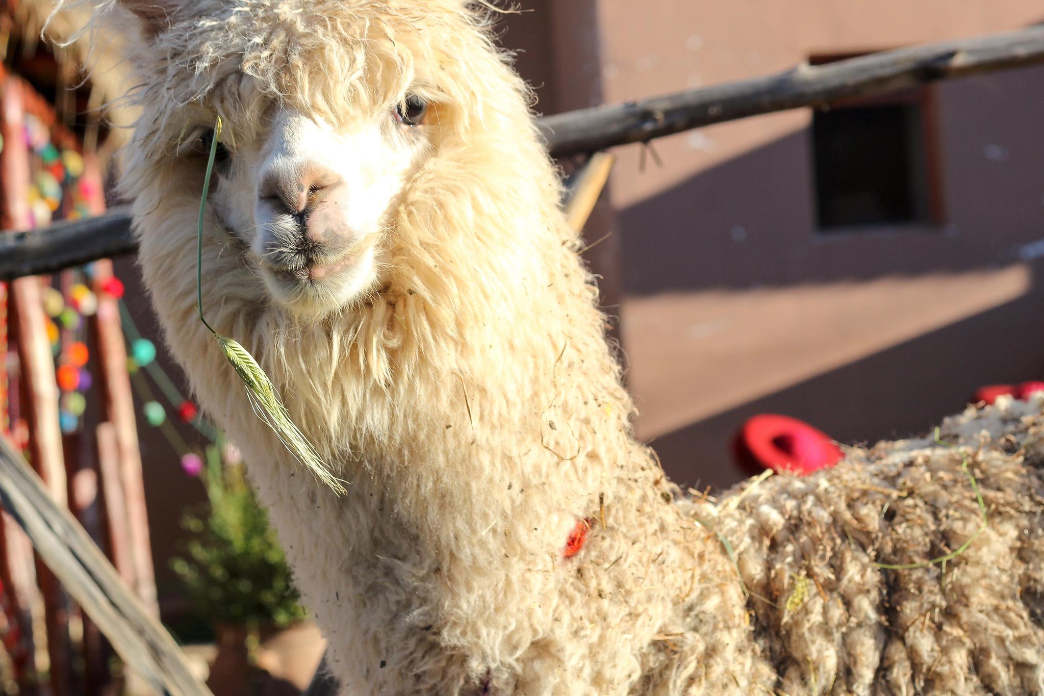 6 Reasons Why Using Alpaca Fiber is Sustainable