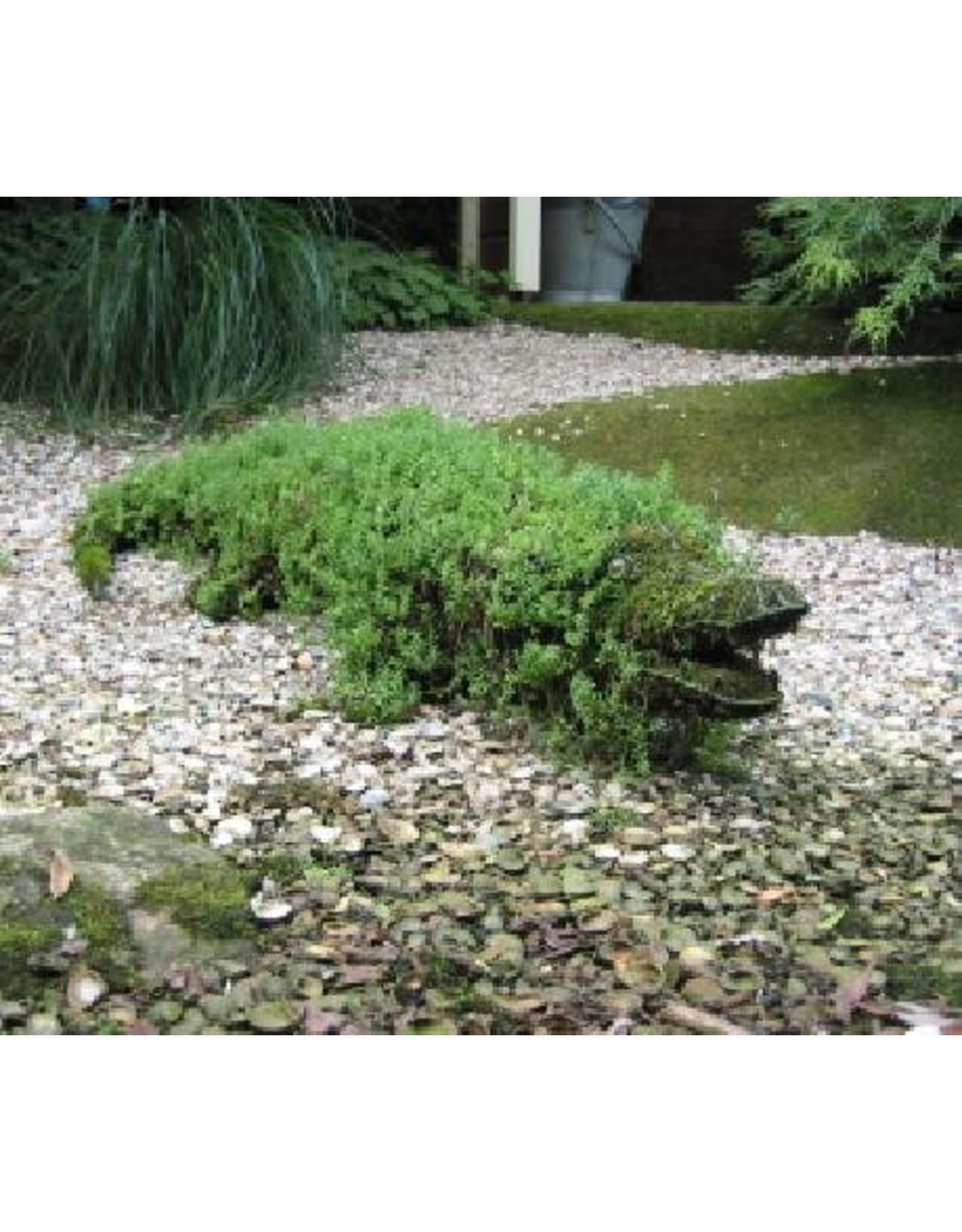 Artopya Crocodile